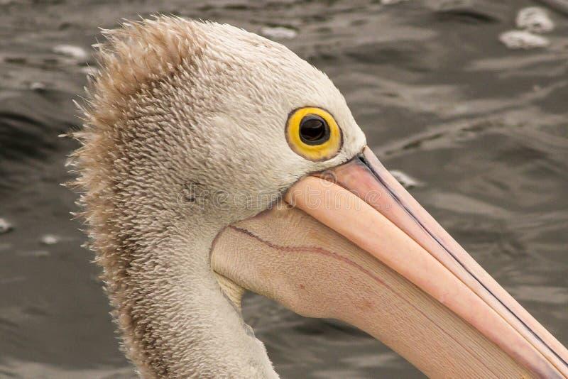 Conspicillatus australiano del Pelecanus del pel?cano imagen de archivo