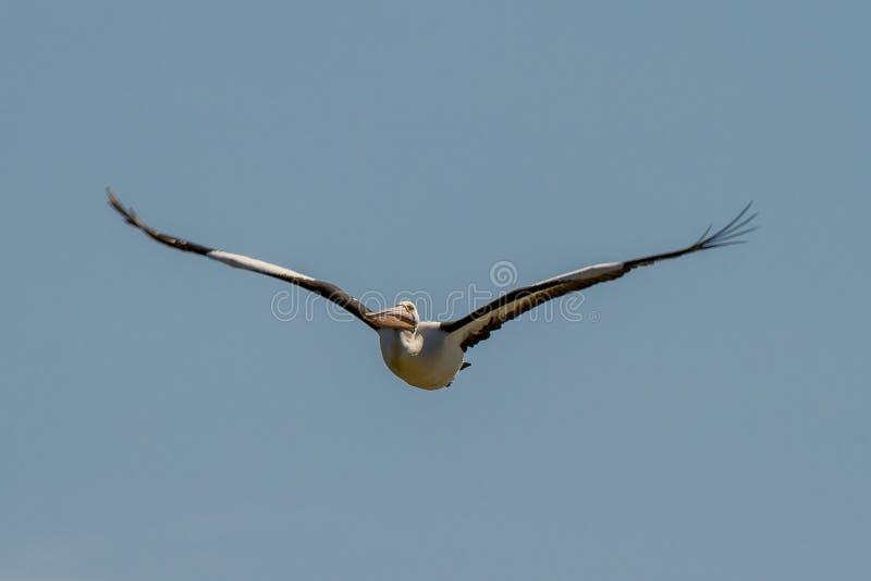 Conspicillatus australiano do Pelecanus do pelicano imagem de stock royalty free