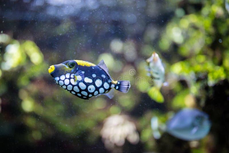 Conspicillum clown trigger fish royalty free stock photography