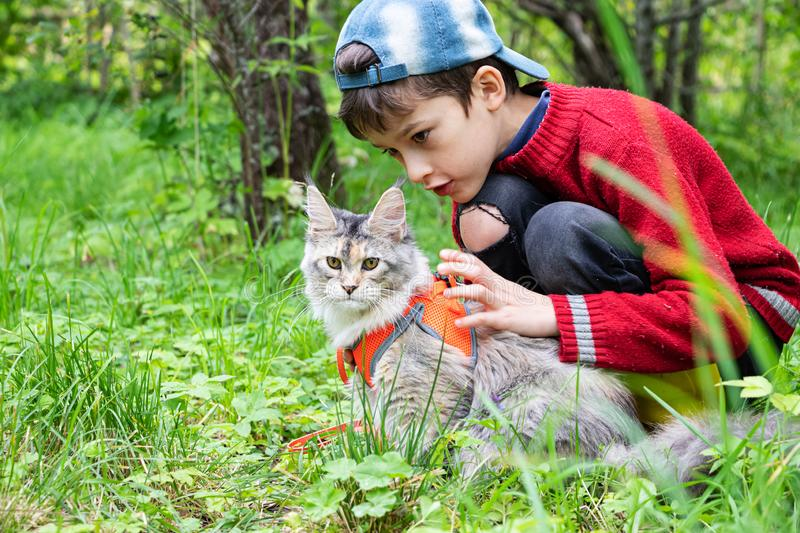 Maine coon kitten in harness and little boy are walking in the green garden stock images