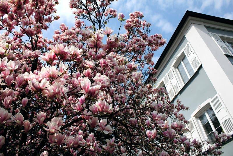 constance jeziorny lindau magnolii parka drzewo fotografia royalty free