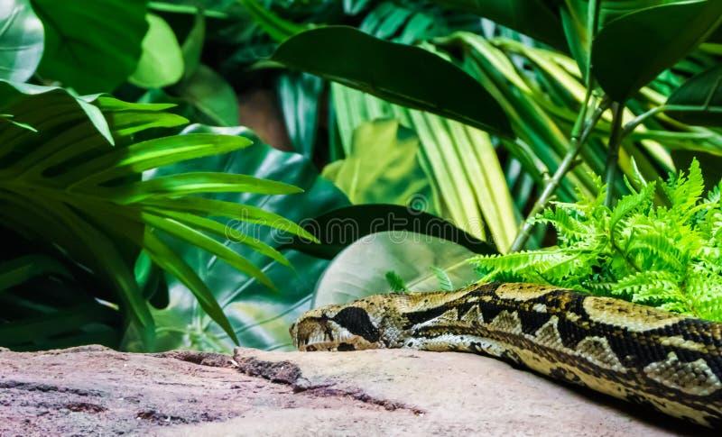 Constrictor горжетки вползая над каменным утесом в портрете гада живой природы пейзажа ландшафта дождевого леса животном стоковое фото rf
