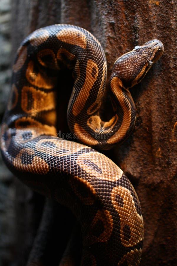 Constrictor горжетки стоковое фото