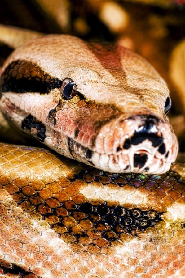 Constrictor/горжетки стоковое фото rf