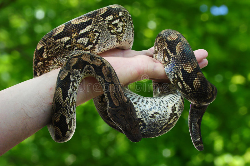 constrictor obrazy royalty free