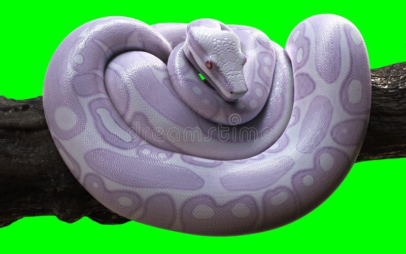 Constrictor de boa com trajeto de grampeamento, Albino Anaconda, pitão da bola ilustração royalty free