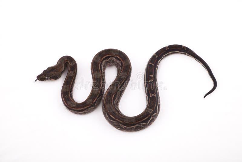 Constrictor de boa do deserto de Sonoran do bebê fotografia de stock