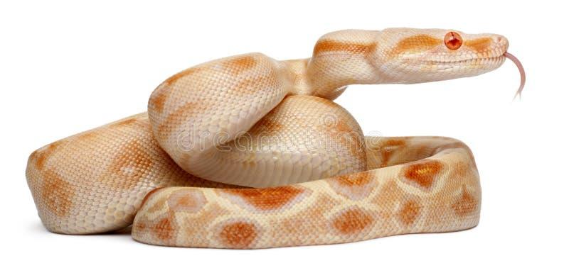 Constrictor van de Boa van albino's, constrictor van de Boa stock afbeelding