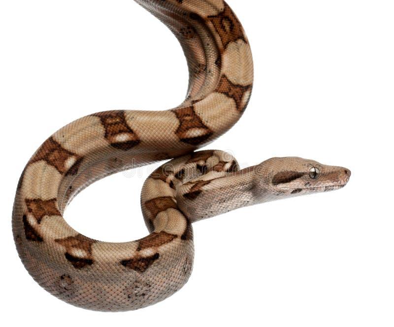 Constrictor van de Boa van de zalm, constrictor van de Boa royalty-vrije stock afbeeldingen