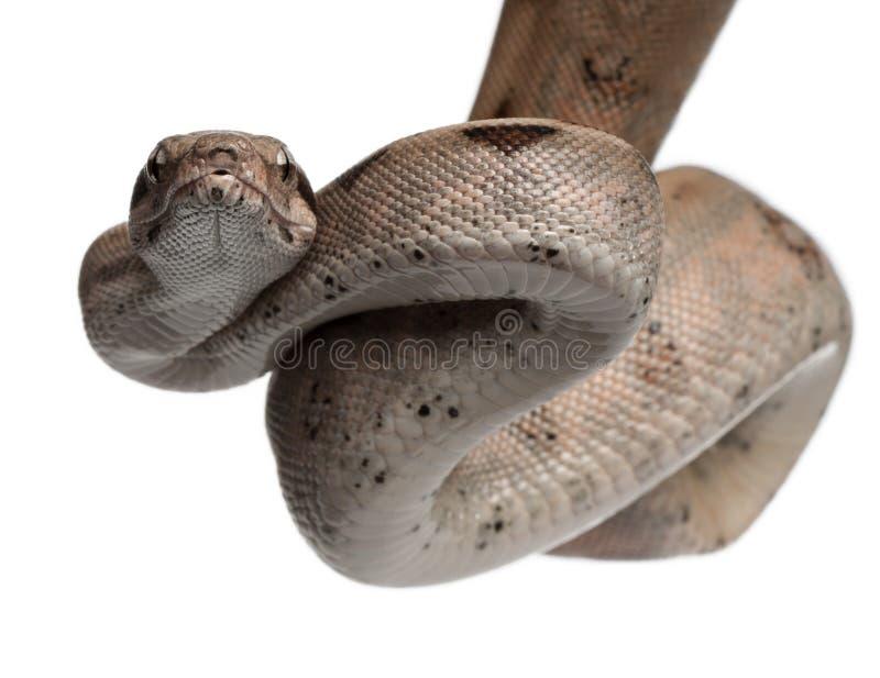 Constrictor van de Boa van de zalm, constrictor van de Boa stock foto's