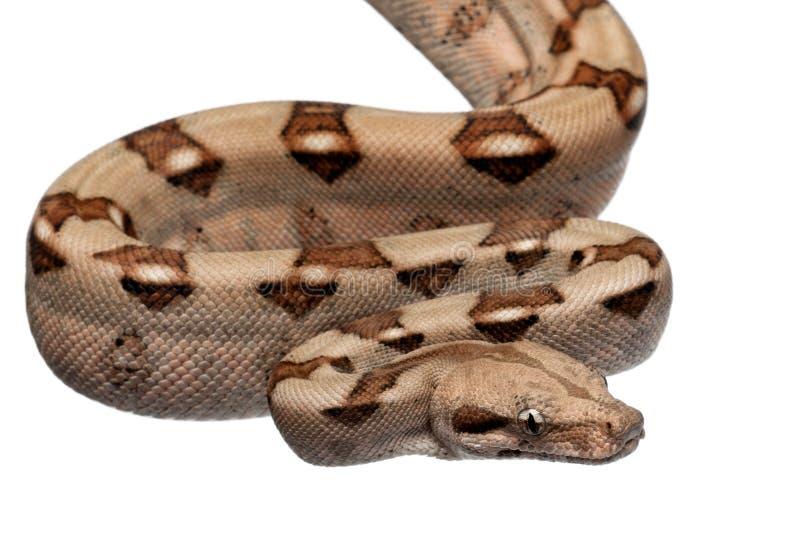 Constrictor van de Boa van de zalm, constrictor van de Boa stock afbeelding