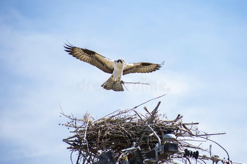Construção fêmea do ninho da águia pescadora em polo de serviço público fotos de stock