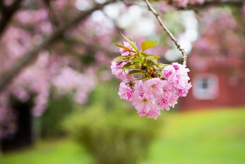 Construções de Cherry Blossoms e de exploração agrícola fotografia de stock royalty free