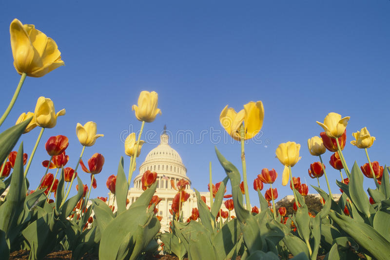Construction de capitol des États-Unis avec des tulipes images stock