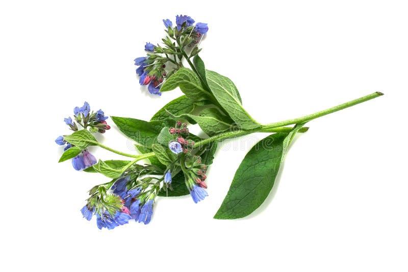 Consuelda de la planta medicinal en un fondo blanco foto de archivo