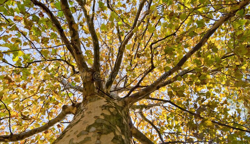 Consultazione dell'albero di autunno fotografia stock libera da diritti