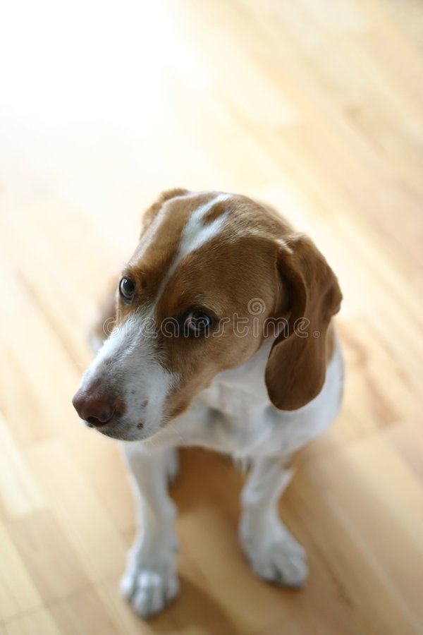 Free Consulting Dog Stock Photography - 302772