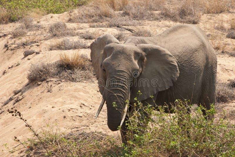 Consumición africana del elefante del arbusto fotos de archivo