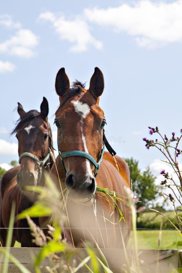 Consumición de dos caballos imágenes de archivo libres de regalías
