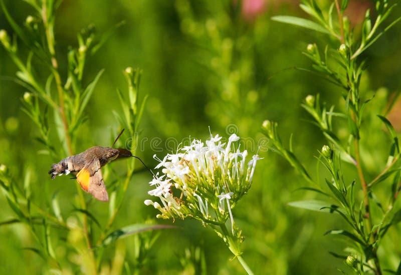 Consumición de Hawkmoth del colibrí foto de archivo
