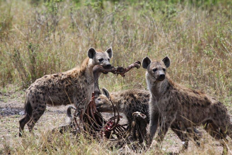 Consumición de la hiena foto de archivo libre de regalías