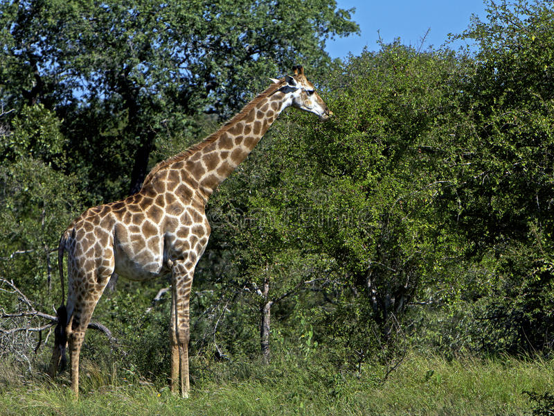 Consumición de la jirafa imagenes de archivo