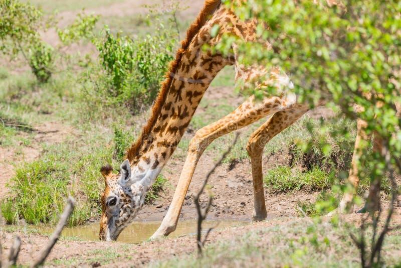 Consumición de la jirafa del Masai foto de archivo