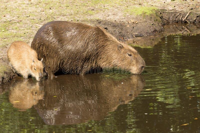 Consumición de la madre y del cachorro del Capybara imagen de archivo libre de regalías