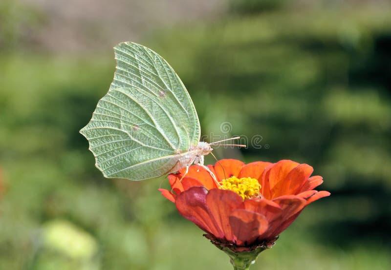 Consumición de la mariposa imagenes de archivo