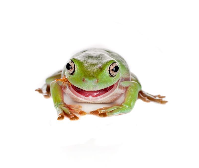 Consumición de la rana de árbol fotos de archivo
