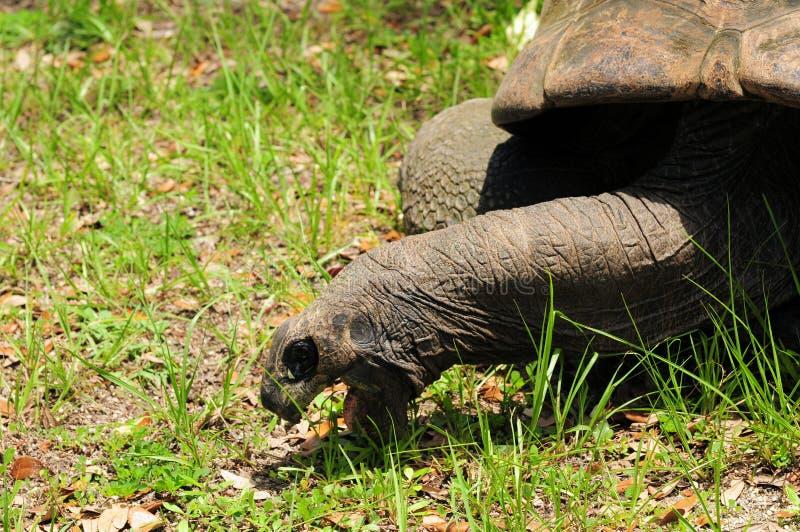 Consumición de la tortuga fotos de archivo libres de regalías