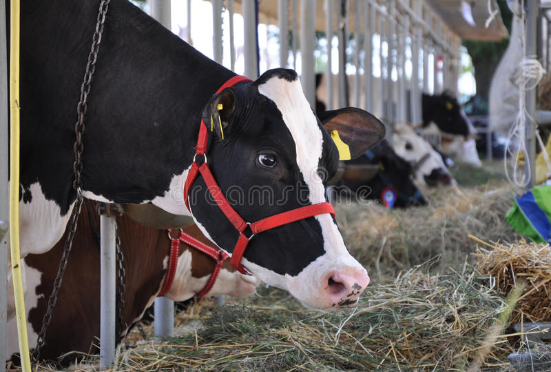 Consumición de la vaca imágenes de archivo libres de regalías