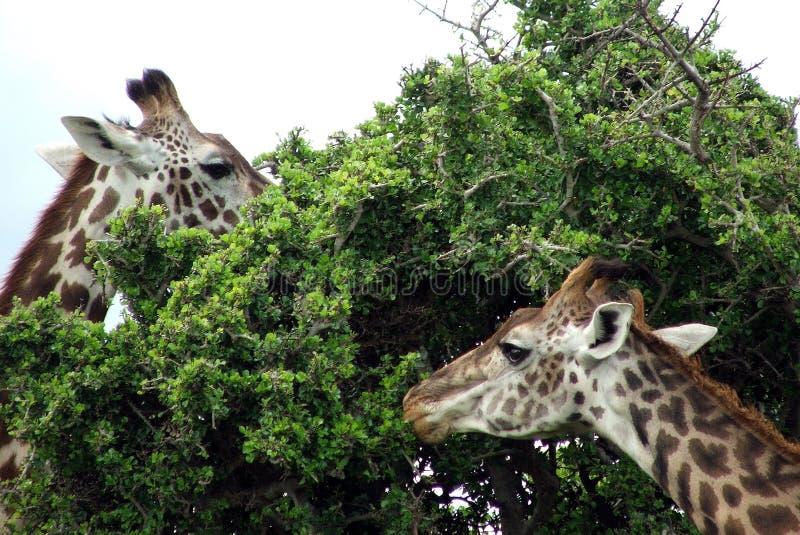 Consumición de las jirafas imagenes de archivo