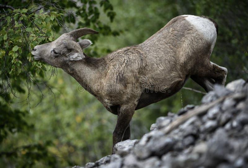 Consumición de las ovejas de Bighorn imagen de archivo libre de regalías