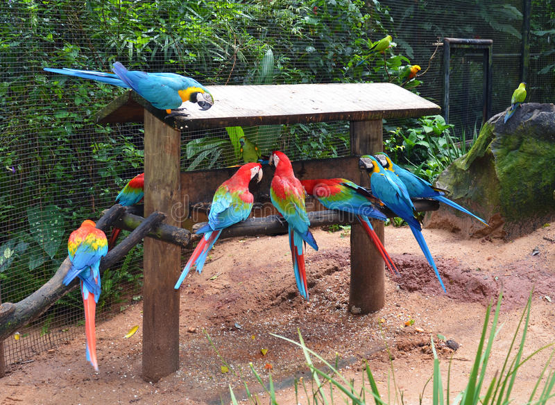 Consumición de los Macaws foto de archivo libre de regalías