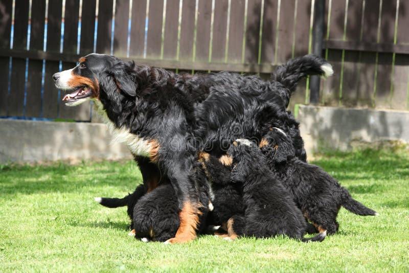 Consumición de perritos del perro de montaña de Bernese imagen de archivo