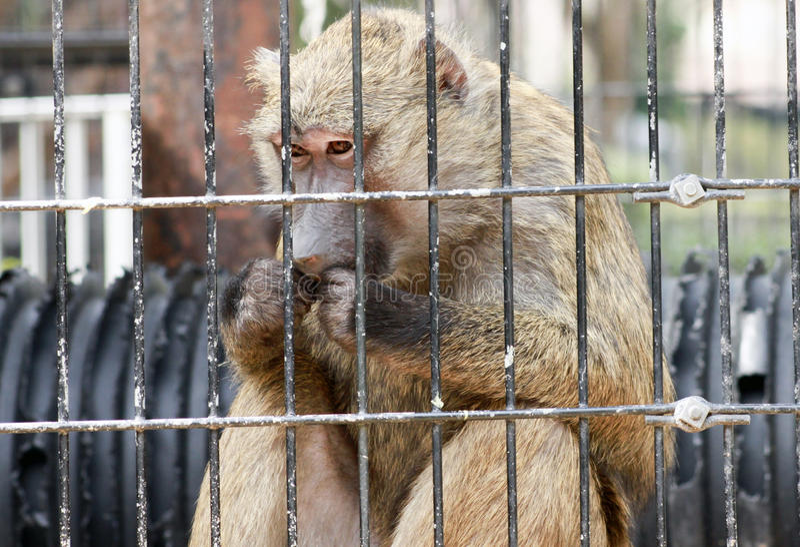 Consumición del babuino foto de archivo libre de regalías