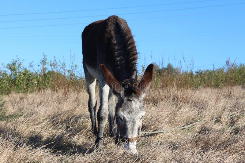 Consumición del burro imágenes de archivo libres de regalías