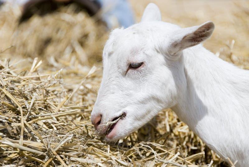 Consumición del cabrito de la cabra imagen de archivo libre de regalías