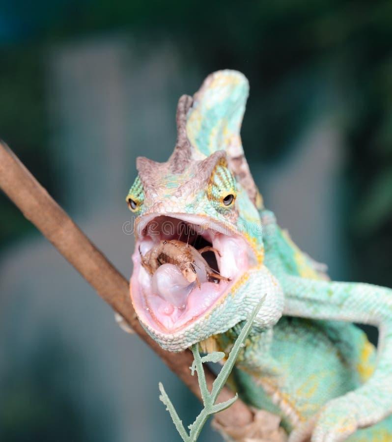 Consumición del camaleón fotos de archivo