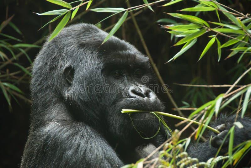 Consumición del gorila fotos de archivo
