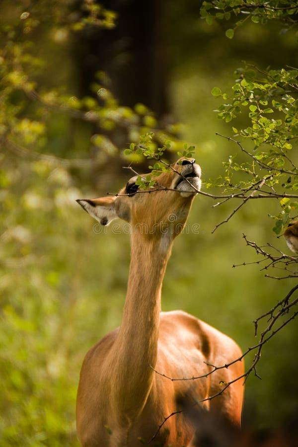Consumición del impala foto de archivo