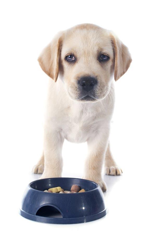 Download CONSUMICIÓN Del Labrador Retriever Del Perrito Imagen de archivo - Imagen de labrador, canino: 42445299