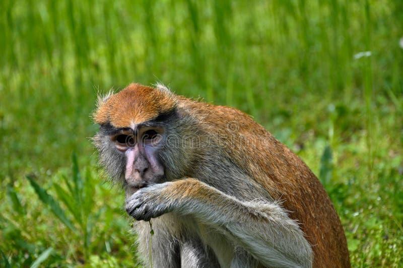 Consumición del mono imágenes de archivo libres de regalías