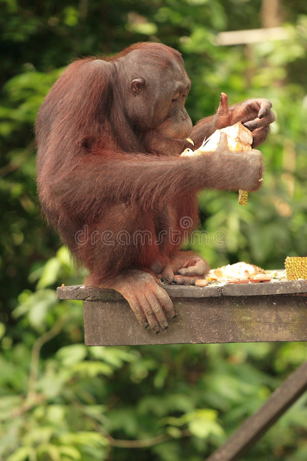 Consumición joven del orangután imagen de archivo