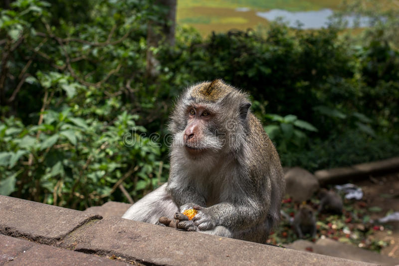 Consumición Lichi del mono imagen de archivo