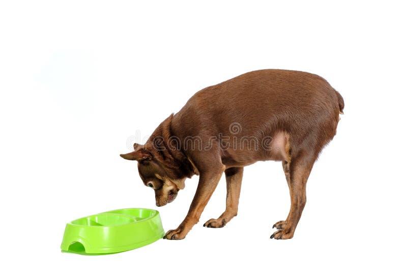 Consumición rusa gorda del perro de juguete imagenes de archivo