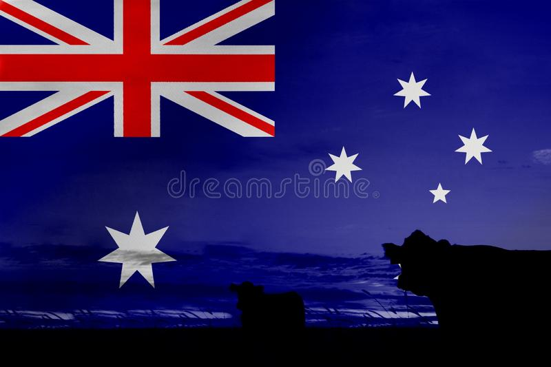 Consumption and production of cattle in countries with the flag of Australia.  stock photo