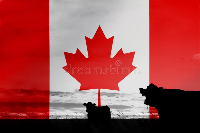 Consumption and production of cattle in countries with the flag of Canada.  stock images