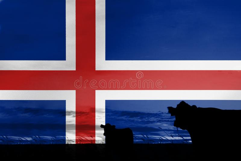 Consumption and production of cattle in countries with the flag of Iceland.  royalty free stock photos